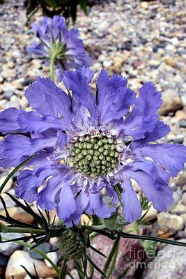 Blue Scabiosa Poster by Susan Fisher