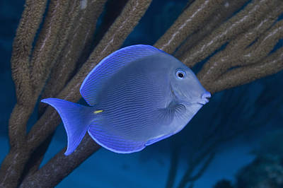 Blue Tang (fish) Swimming On Tropical Coral Reef Poster by Jeff Hunter