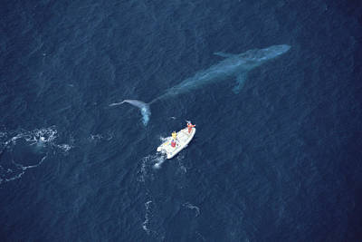 Blue Whale With Research Boat Santa Poster