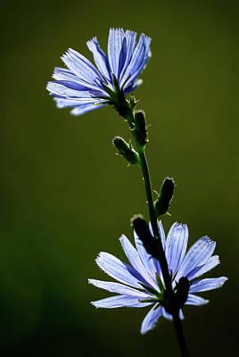 Blue Wildflower Poster