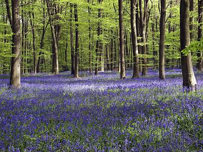 Bluebells In Woodland Poster