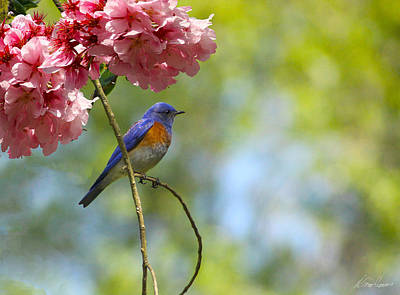 Bluebird In Cherry Tree Poster