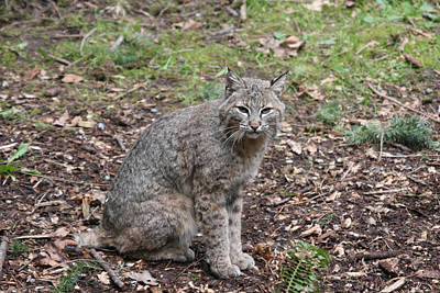Poster featuring the photograph Bobcat - 0017 by S and S Photo