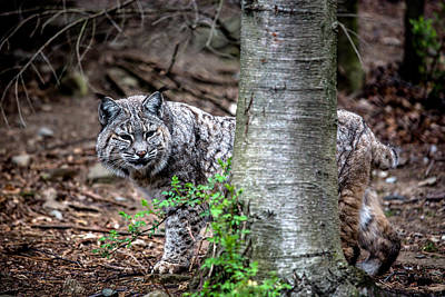 Bobcat And Tree Poster