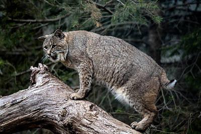 Bobcat Poster by John Dryzga