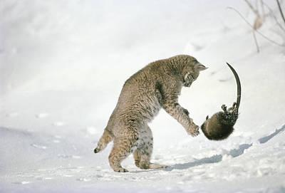 Bobcat Lynx Rufus Hunting Muskrat Poster