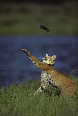 Bobcat Toys With Vole Poster by Michael S. Quinton