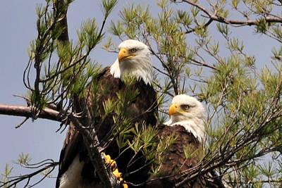 Bog River Eagles Close Up  Poster
