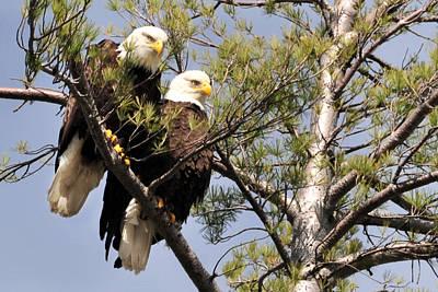 Bog River Eagles  Poster