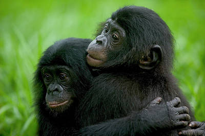Bonobo Pan Paniscus Pair Of Orphans Poster by Cyril Ruoso