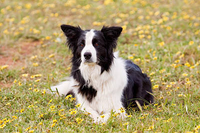 Border Collie In Field Of Yellow Flowers Poster