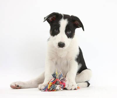 Border Collie Pup With Rag Toy Poster