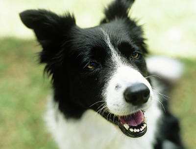 Border Collie Sitting On Grass,close-up Poster by Stockbyte