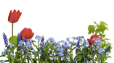 Poster featuring the photograph Border From Myosotis And Tulips by Aleksandr Volkov