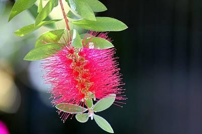 Bottlebrush Nectar Poster
