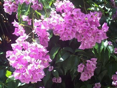 Bougainvillea Flowers  Poster