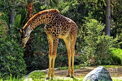 Bowing Giraffe Poster