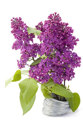 Branch Of A Lilac And Wire Poster