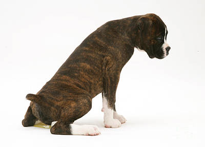Brindle Boxer Pup Urinating Poster