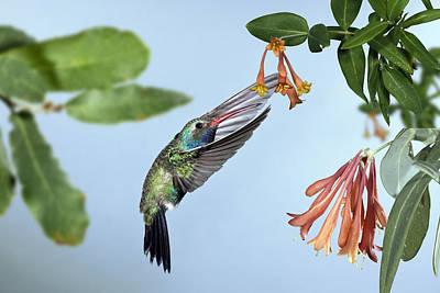 Broad-billed Hummingbird Hovering Below Honeysuckle In Bloom, April 2010 Poster by Don Grall