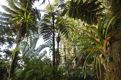 Bromeliad And Tree Ferns  Poster