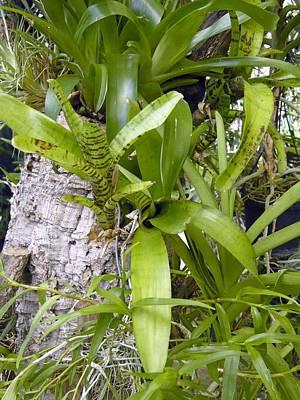 Bromeliad Plants Poster