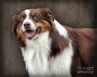 Brown And White Border Collie Dog Poster