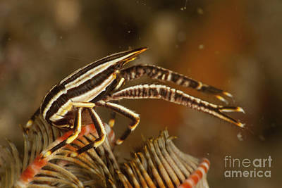 Brown And White Striped Crinoid Squat Poster by Mathieu Meur