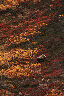 Brown Bear Denali National Park Poster