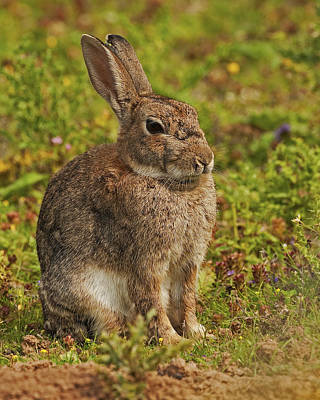 Poster featuring the photograph Brown Hare by Paul Scoullar