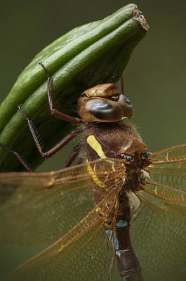Brown Hawker Dragonfly Poster by Andy Astbury