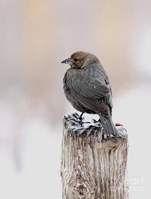 Poster featuring the photograph Brown-headed Cowbird by Jack R Brock