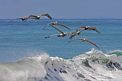 Brown Pelicans Poster