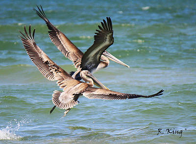 Brown Pelicans Taking Flight Poster by Roena King