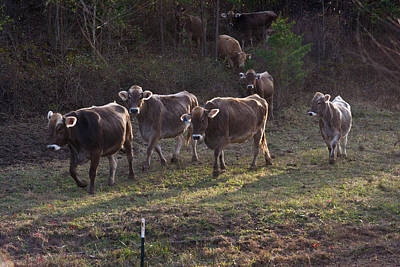 Brown Swiss Cows Coming Home Poster by Douglas Barnett