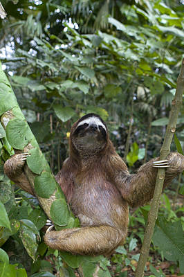 Brown Throated Three Toed Sloth Male Poster
