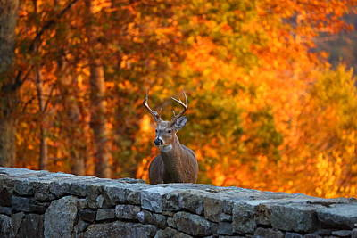 Buck In The Fall 01 Poster by Metro DC Photography