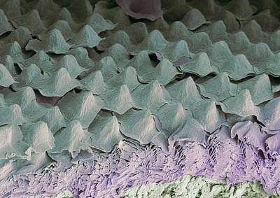 Budgerigar Throat, Sem Poster by Steve Gschmeissner
