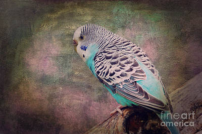 Budgie Poster by Angela Doelling AD DESIGN Photo and PhotoArt