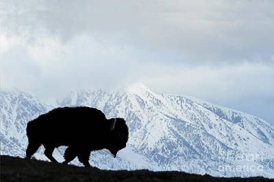 Poster featuring the photograph Buffalo Suvived Another Yellowstone Winter by Dan Friend