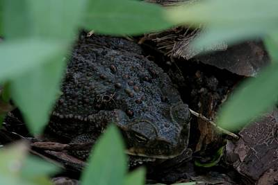 Bufo Marinus - Cane Toad Poster by April Wietrecki Green