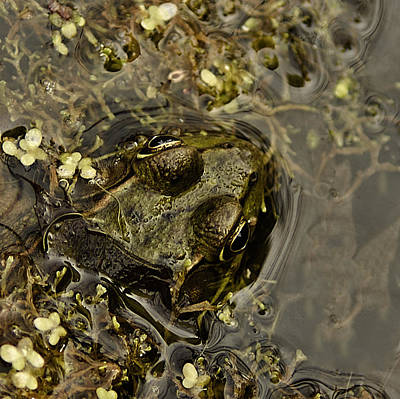 Bug Eyed Pond Frog Poster by LeeAnn McLaneGoetz McLaneGoetzStudioLLCcom