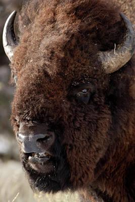 Bull Bison Poster by D Robert Franz