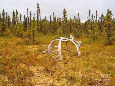 Bull Caribou Winter Kill Poster by Adam Owen