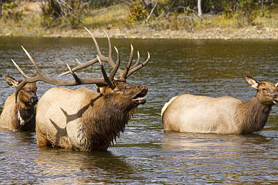 Bull Elk Bugling During Fall Rut In Estes Park Co  Poster