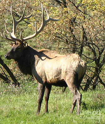 Bull Elk  Poster by The Kepharts