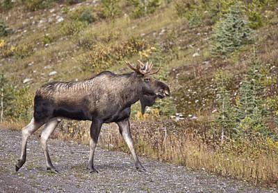 Bull Moose Alberta Poster