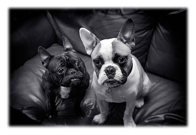 Bulldog Buddies Poster by Mal Bray