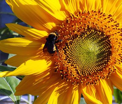 Poster featuring the photograph Bumble Bee And Sunshine by Lynnette Johns