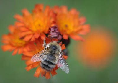 Poster featuring the photograph Bumblebee And Orange Hawkweed by Ronda Broatch